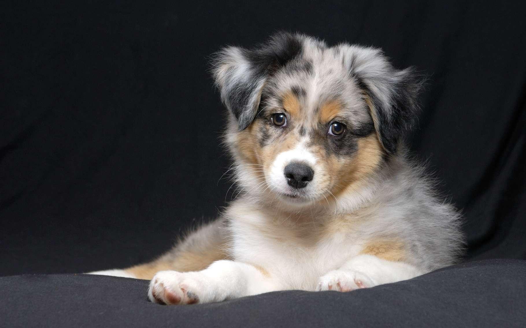 L'hydatidose est une maladie parasitaire due à la larve d'un ténia du chien. Ici, un jeune berger australien. © Kent Weakley, Shutterstock