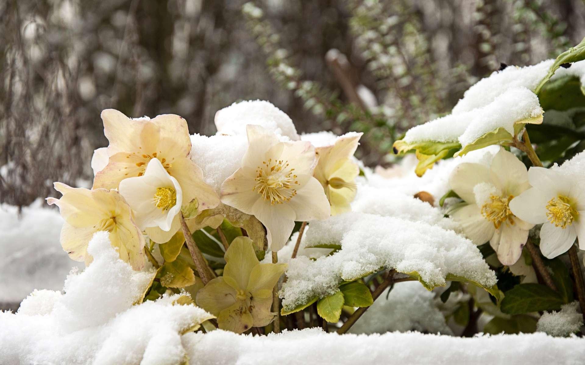Etoile De Noel Plante Exterieur la rose de noël est-elle une rose d'hiver ?