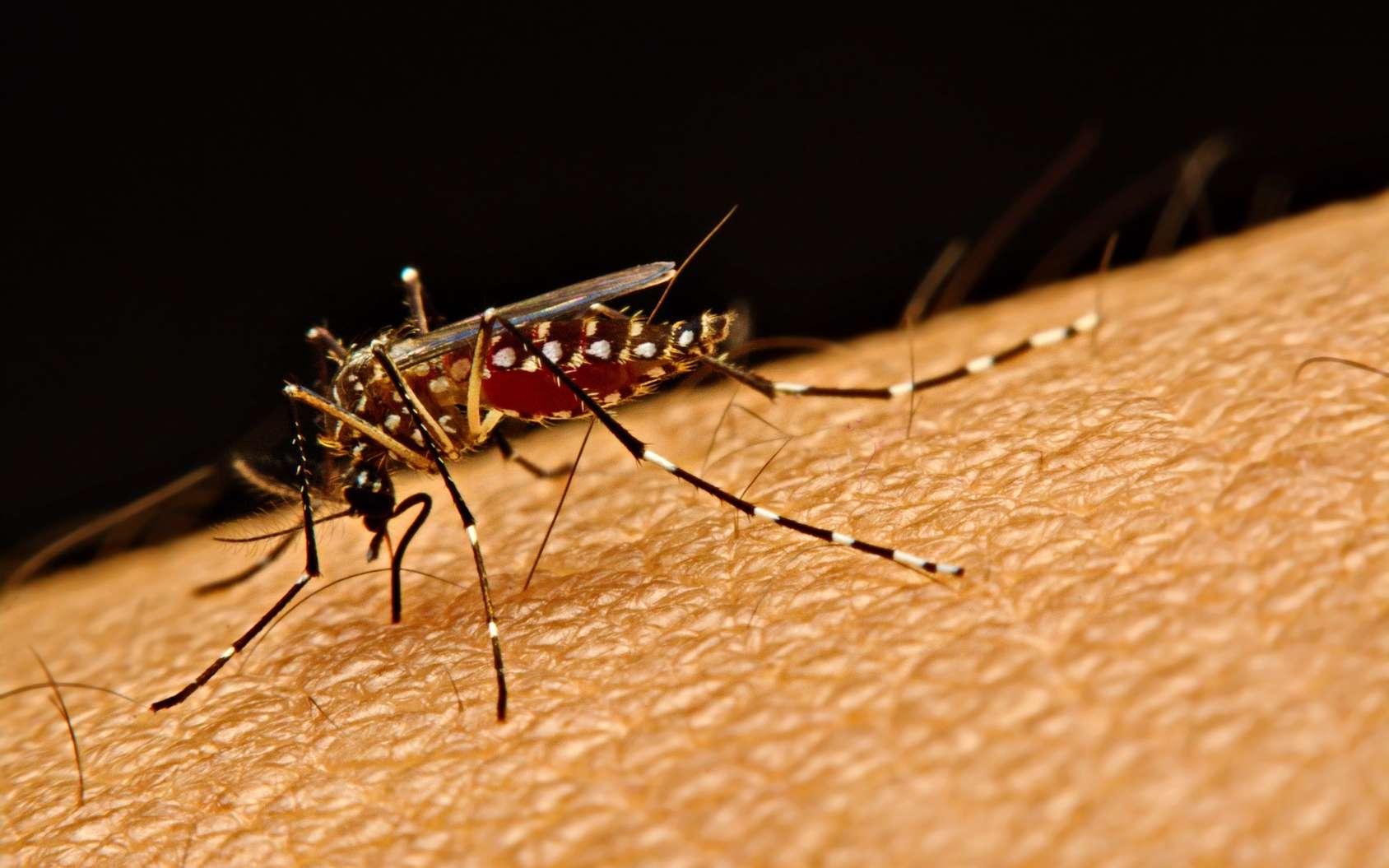 La dengue et le Zika sont deux arbovirus transmis par le même moustique, Aedes aegypti. © kasira698, Fotolia