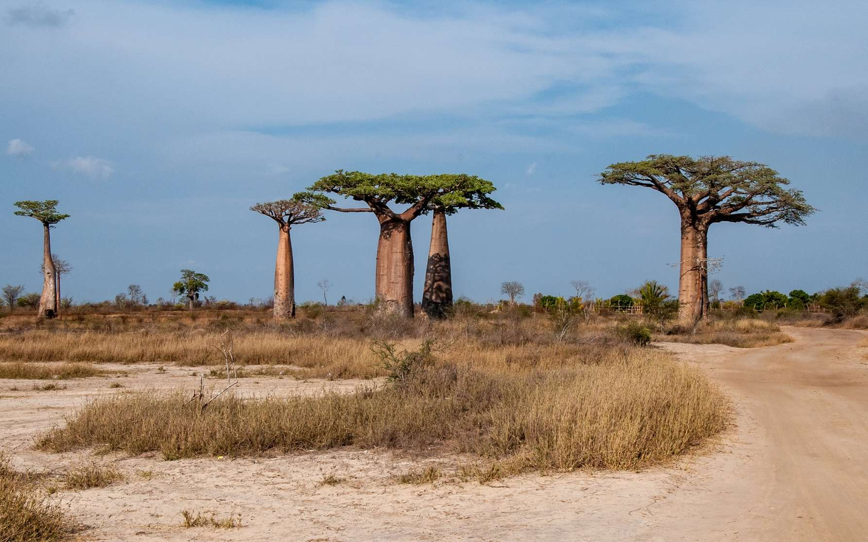 La disparition des baobabs les plus vieux s'est accélérée ces dernières années. © stefanobarze1, Fotolia