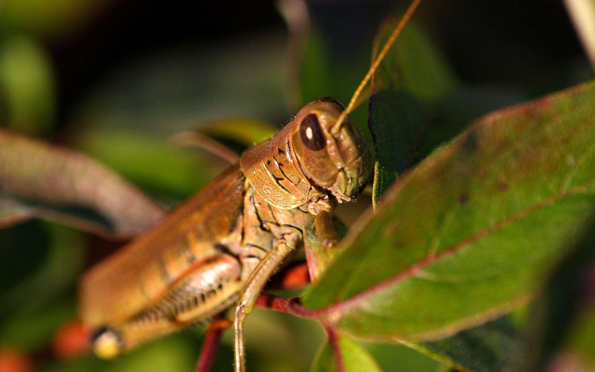 Les criquets migrateurs Locusta migratoria migrent lorsqu'ils se sont reproduits trop rapidement et que les ressources de nourriture viennent à manquer. © katebartnik, Flickr, CC by-nc-nd 2.0
