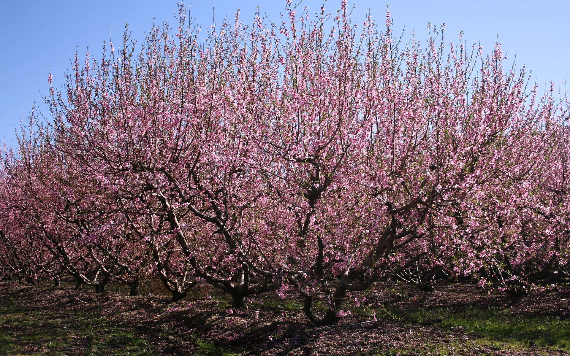Tailler les arbres fruitiers permet d'en prendre soin et d'avoir un bon rendement l'été. © Traianeum, wikipedia, CC-BY-SA-3.0-2.5-2.0-1.0