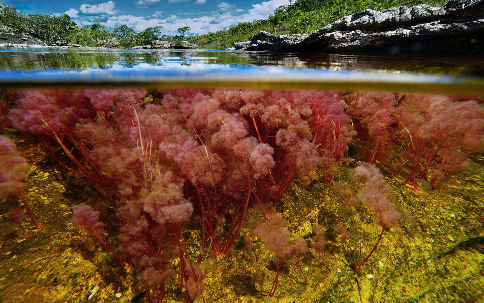 Au cœur de la Colombie, voici la Caño Cristales, « la rivière des cristaux ». Chaque année, le petit ruisseau se transforme en torrent, et chaque année, ses eaux se parent d'une riche palette de couleurs. Un lieu magique et magnifique, enchanteur. © Olivier Grunewald. Tous droits réservés