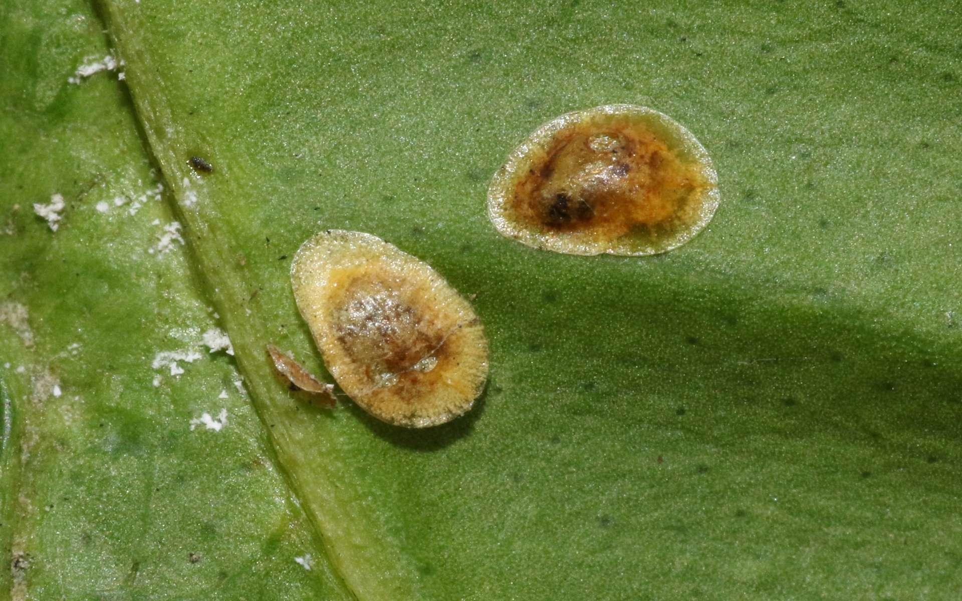 Le pou des Hespérides (Coccus hesperidum), une espèce de cochenille nuisible. © silversea_starsong, iNaturalist