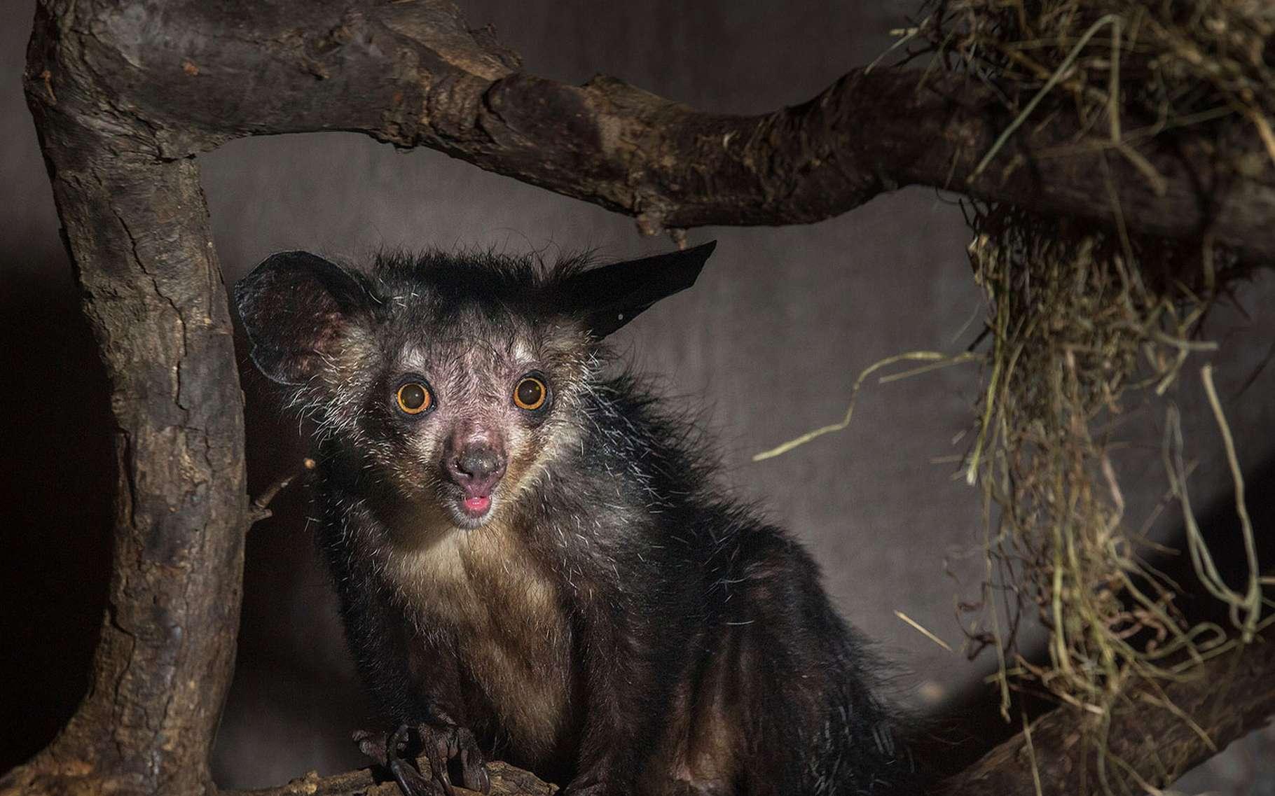 L'aye-aye est un lémurien de Madagascar. © Dale, Fotolia
