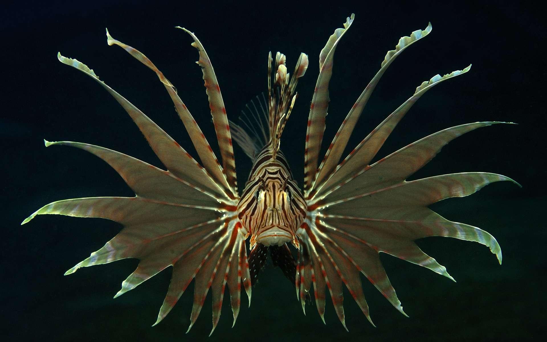 Une superbe image d'Uwe Schmolke, un photographe allemand récompensé cette année par le « plongeur de bronze ». Sur un fond obscur, cette rascasse volante (du genre Pterois, probablement volitans) montre ses nageoires immenses et ses couleurs, pour bien rappeler à son admirateur que son venin fait très mal. © Uwe Schmolke