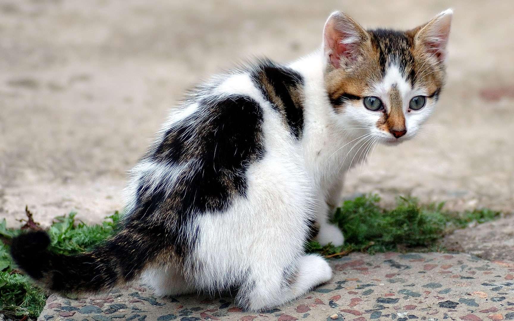 Chaton tout mignon. Les chatons naissent sourds, et ce n'est qu'après plusieurs semaines que leur ouïe atteint son plein potentiel. Les yeux ne s'ouvrent que dans la deuxième semaine de vie. Ils sont bleus au début et prennent leur couleur définitive après environ deux mois. © Aka, Wikimedia Commons, cc by sa 2.5