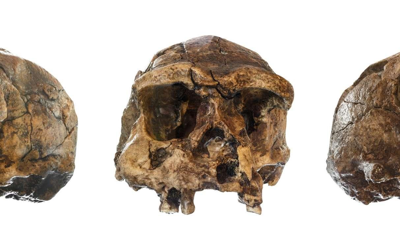 Ce moulage est celui d'un crâne de Sahelanthropus tchadensis surnommé Toumaï, qui a été découvert en 2001 par des paléoanthropologues. Pour certains, il pourrait s'agir de l'une des premières espèces d'Hominines, sachant que ces individus ont vécu voici sept millions d'années. © Didier Descouens, Wikimedia Commons, CC by-sa 3.0