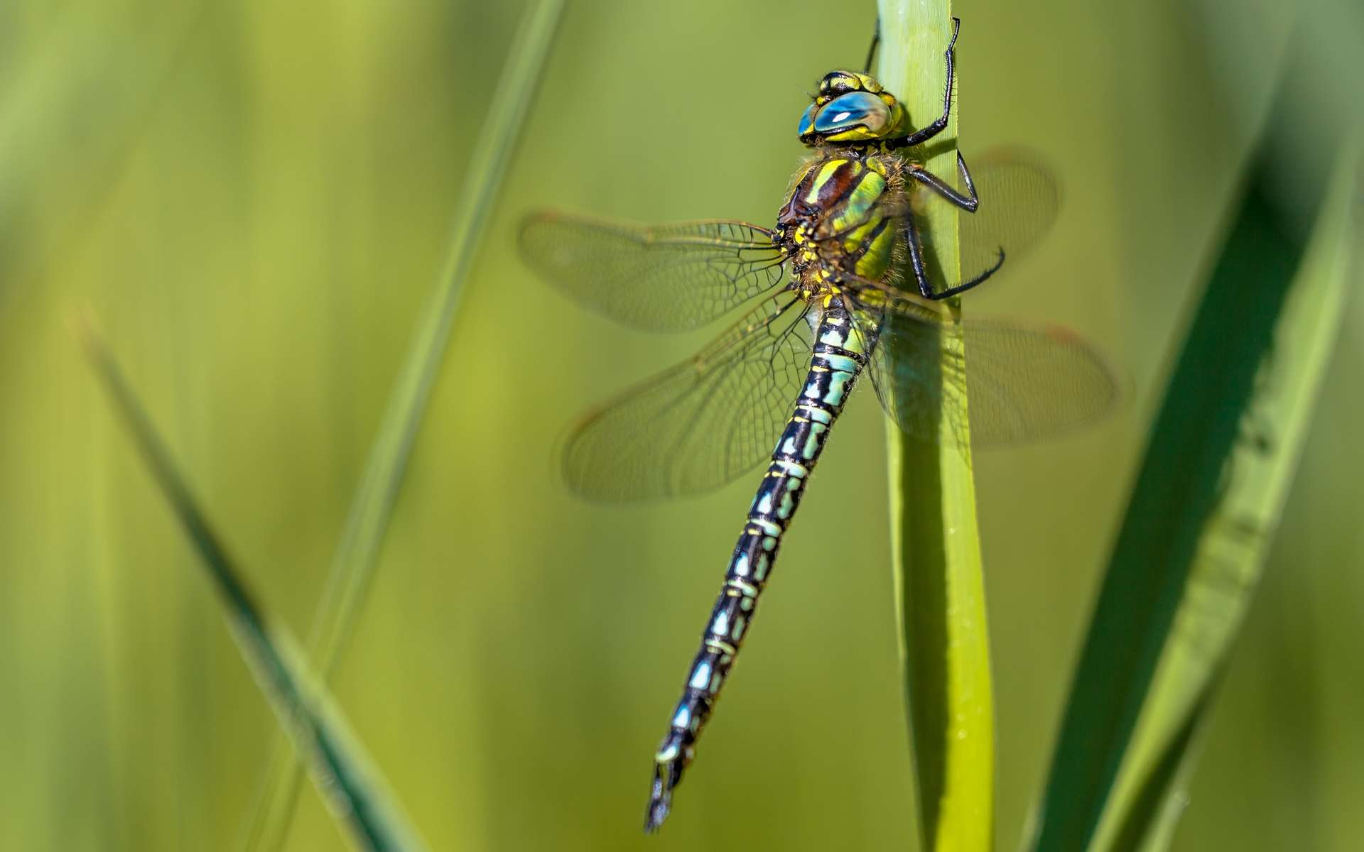 Brachytron pratense, ou aeschne printanière, est une libellule présente en France. © Rudmer Zwerver, Shutterstock