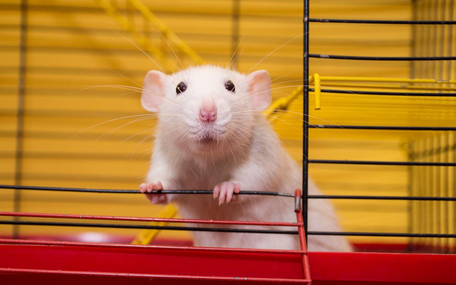Des rats ont appris à conduire pour la première fois. © kurashova, adobestock