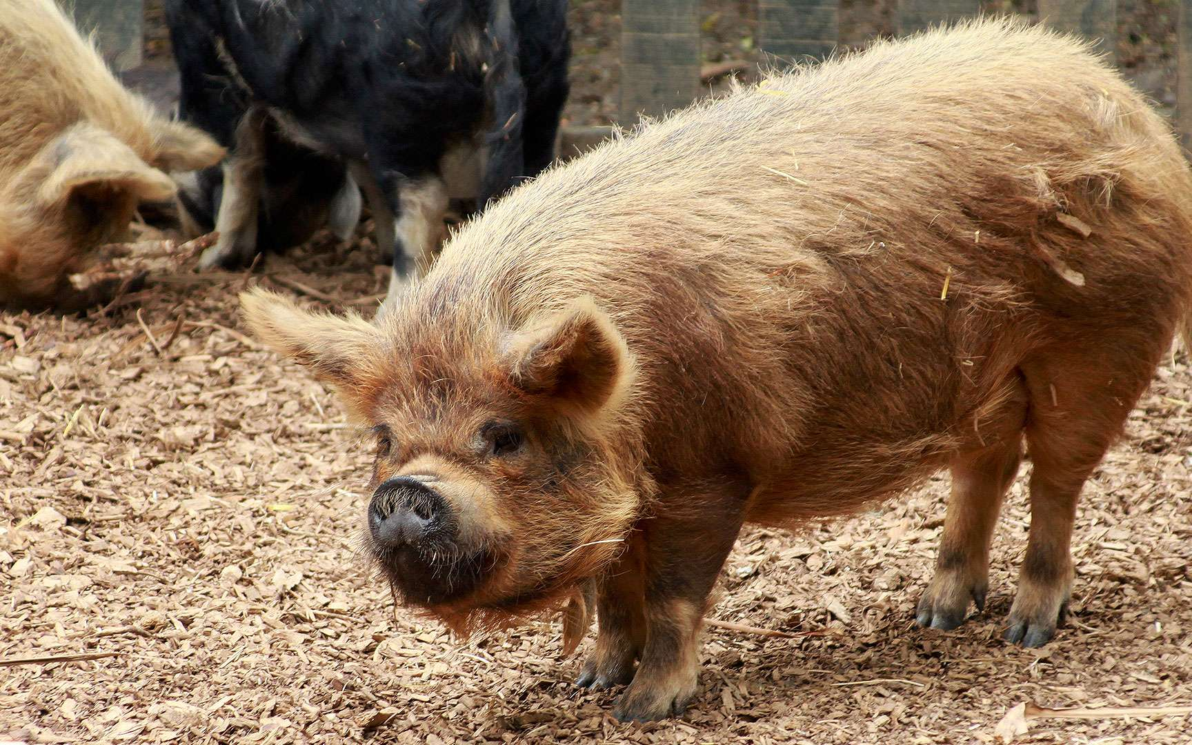 Le porc noir de Kunekune. Docile et amical, il fait partie des nouveaux animaux de compagnie (NAC). © Brian Gratwicke CC by 2.0