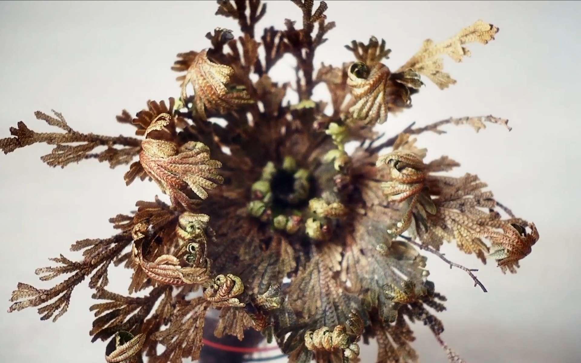 La rose de Jéricho croît facilement sur les rochers ou sur un sol sec et acide. © Sean Steininger