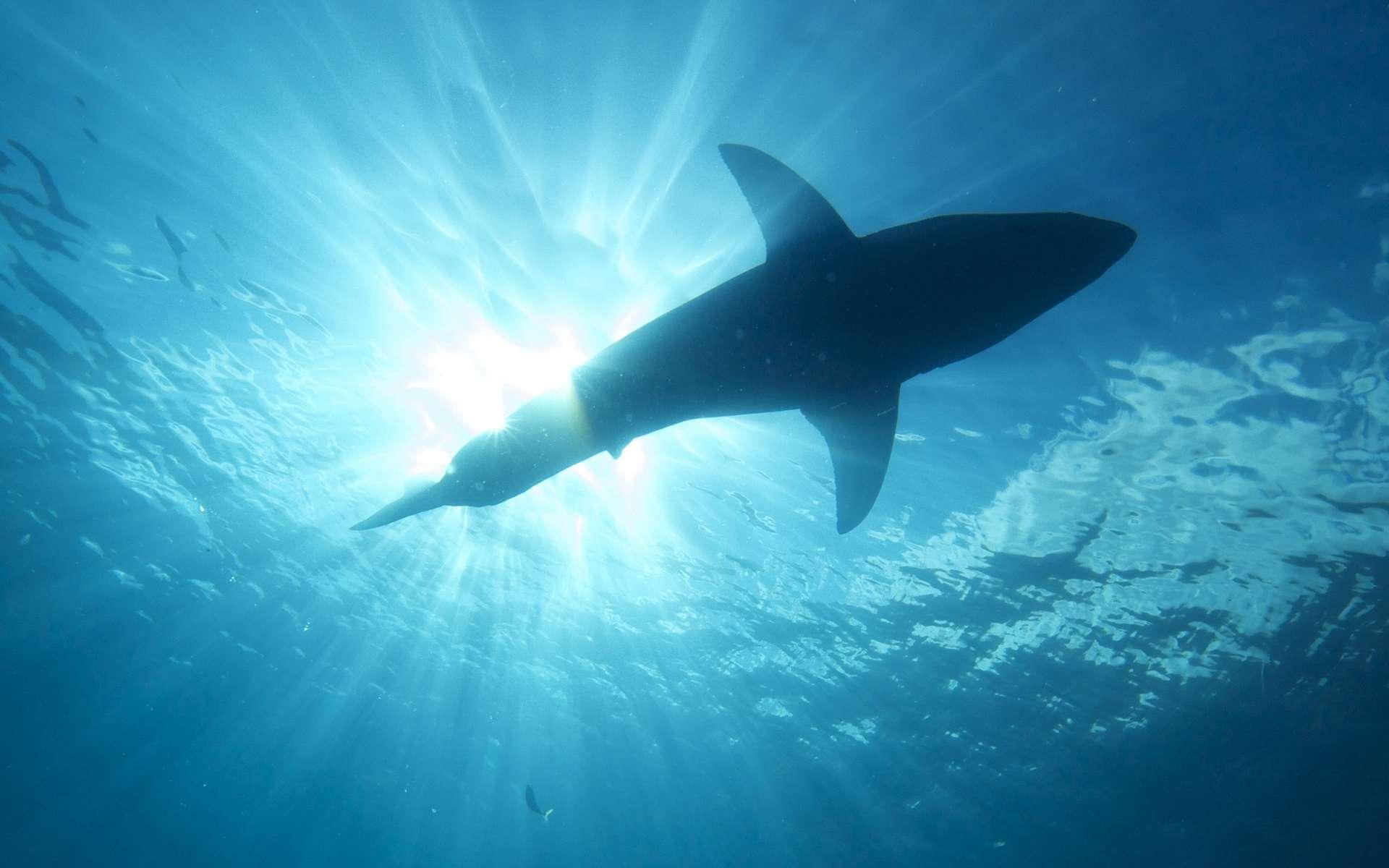 Le requin affectionne les eaux peu profondes. © Elias Levy, flickr, cc by 2.0