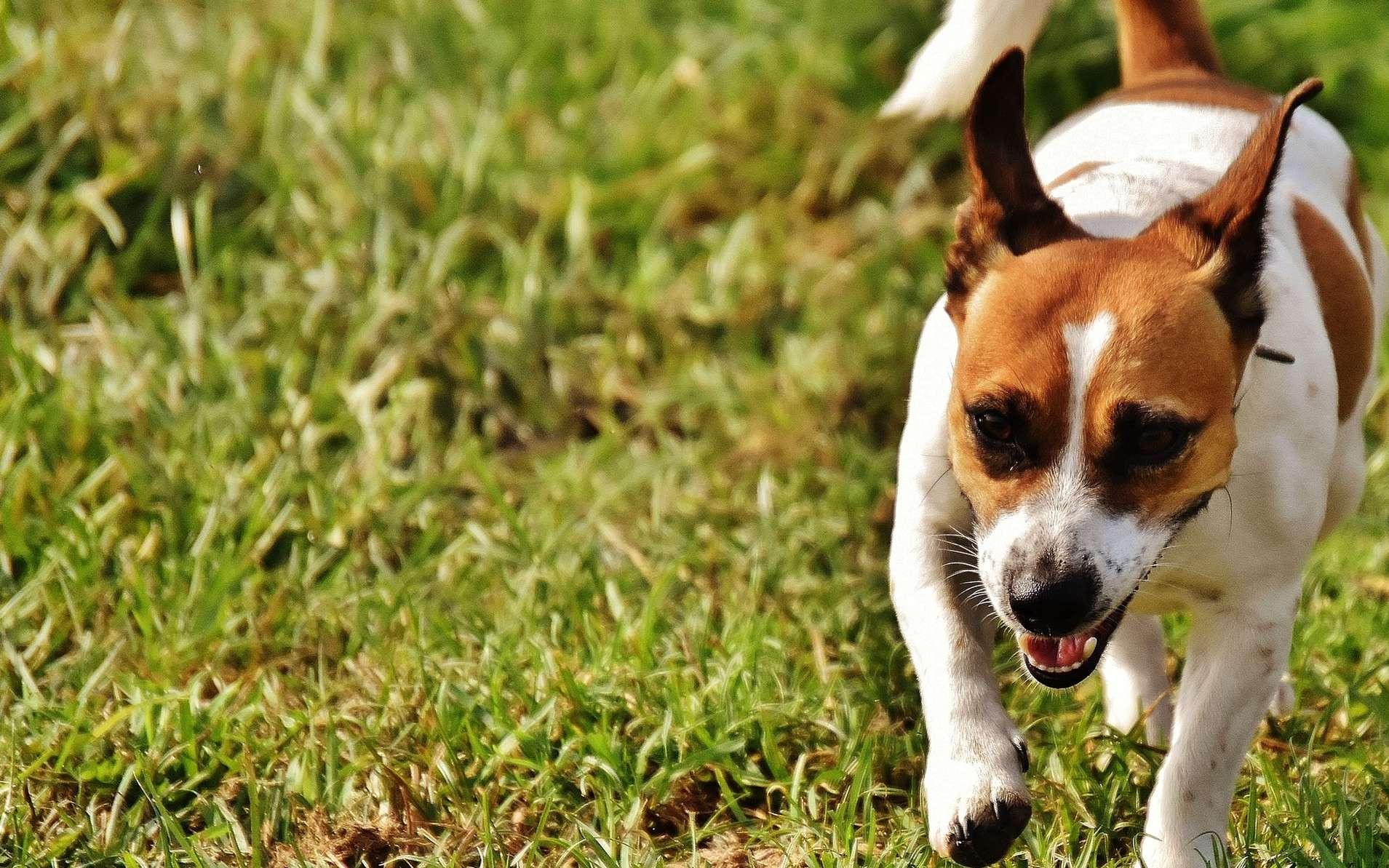 Le Jack Russel est un chien d'extérieur très actif. © Alexas_photos, Pixabay