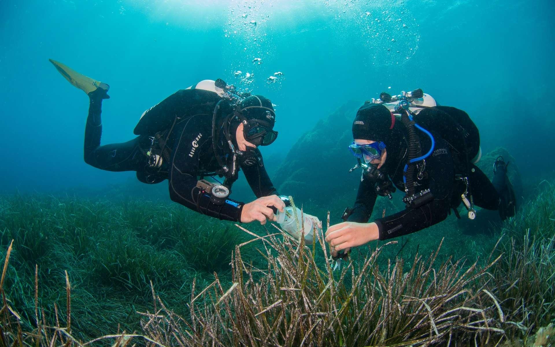 Les scientifiques allemands en train de prélever des planctomycètes sur de la posidonie en mer Méditerranée. © Christian Jogler