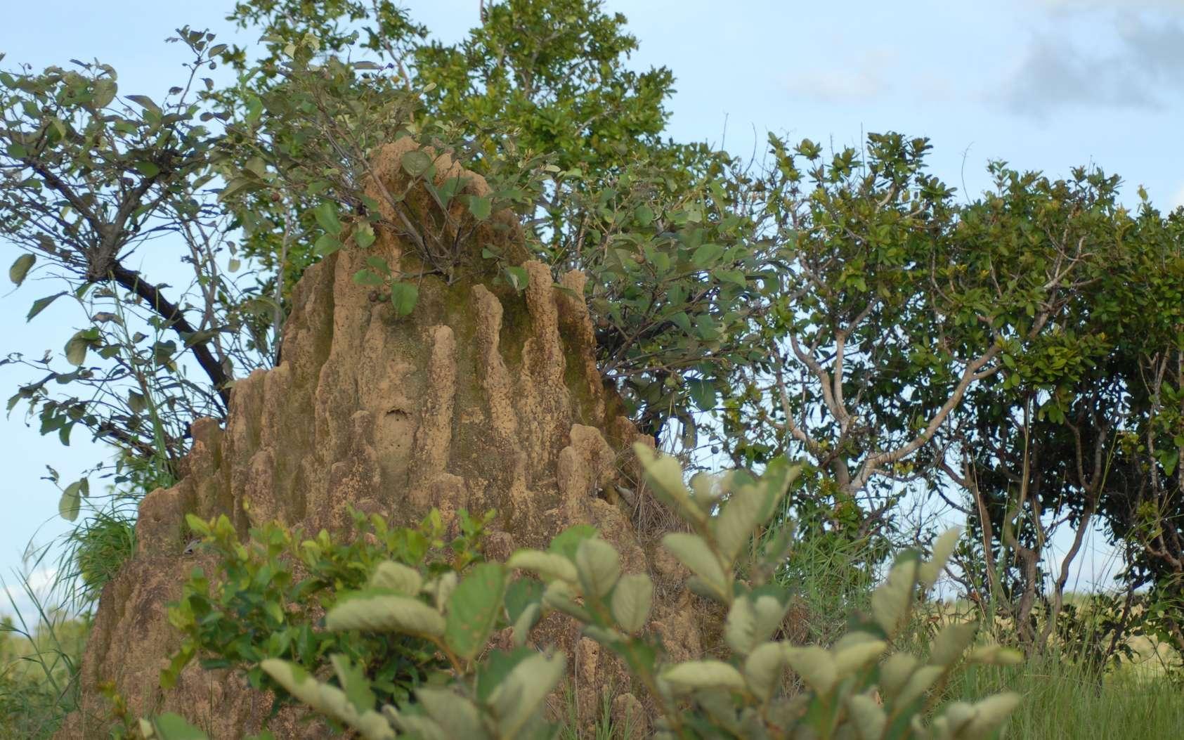 Les termitières sont des édifices impressionnants. Découvrez leurs secrets. © marie1986laure, Fotolia