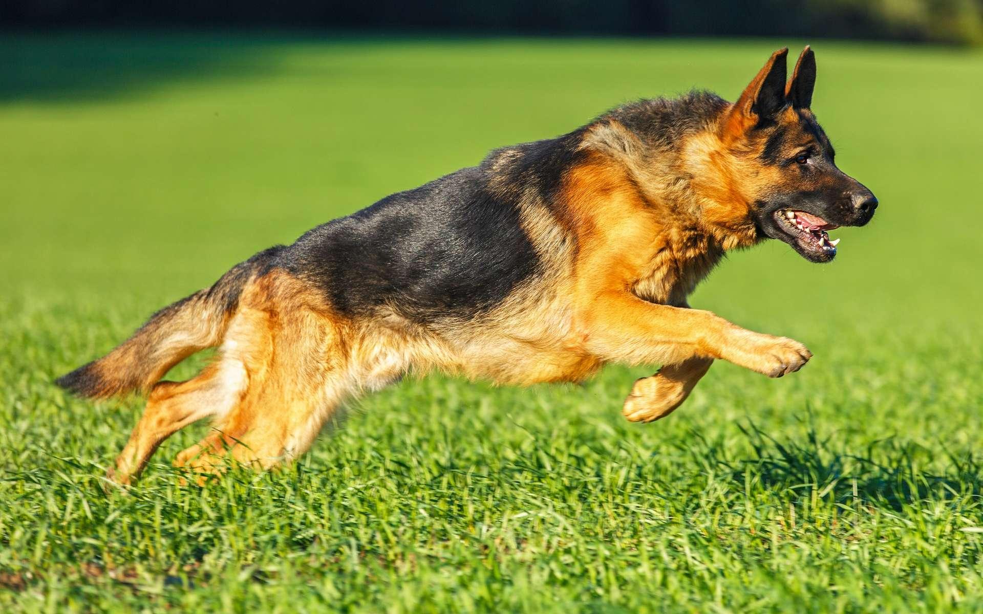Le berger allemand est un chien qui a besoin d'espace pour se dépenser. © AsyaPozniak, Shutterstock