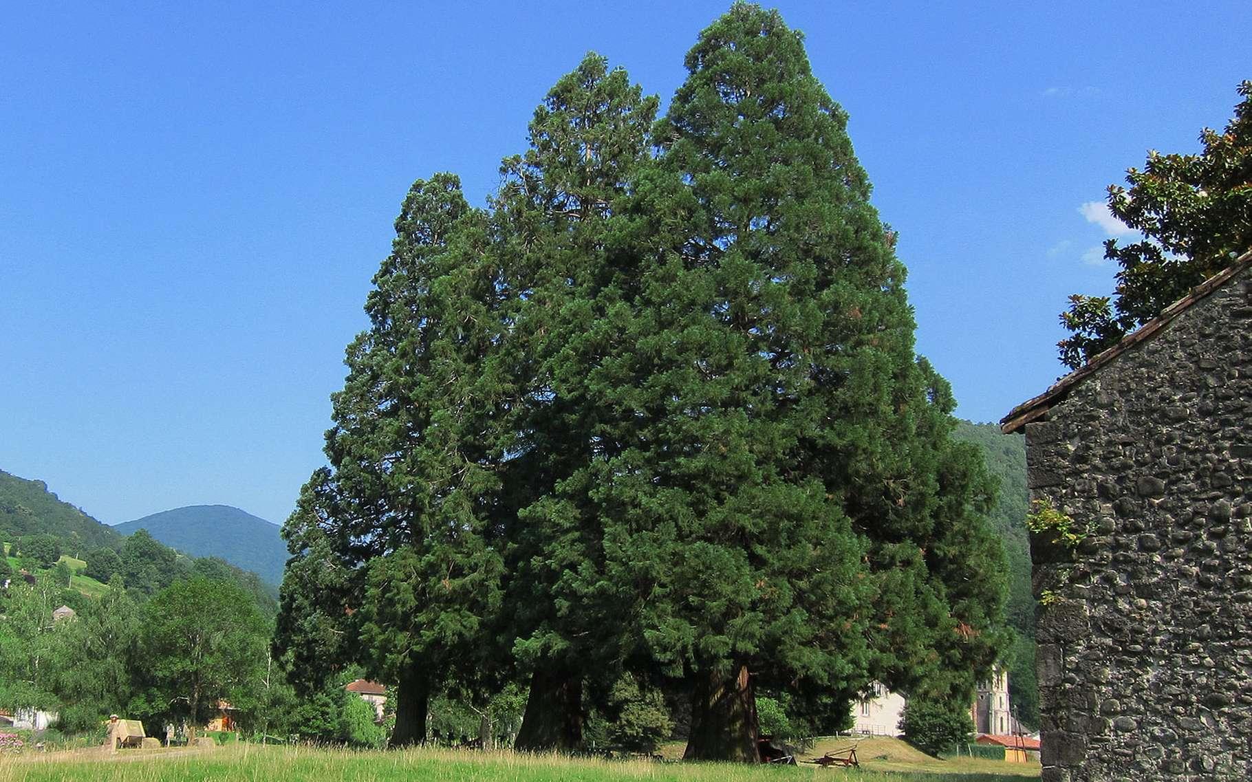Les séquoias sont les géants de la forêt tempérée, ici dans le Parc national de Séquoia en Californie. © Paul Rudenko, domaine public