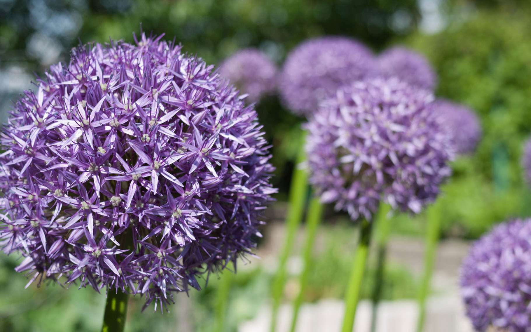L'ail d'ornement Allium giganteum, spectaculaire sur ses hautes tiges. © Amy, CC by-nc-sa 2.0