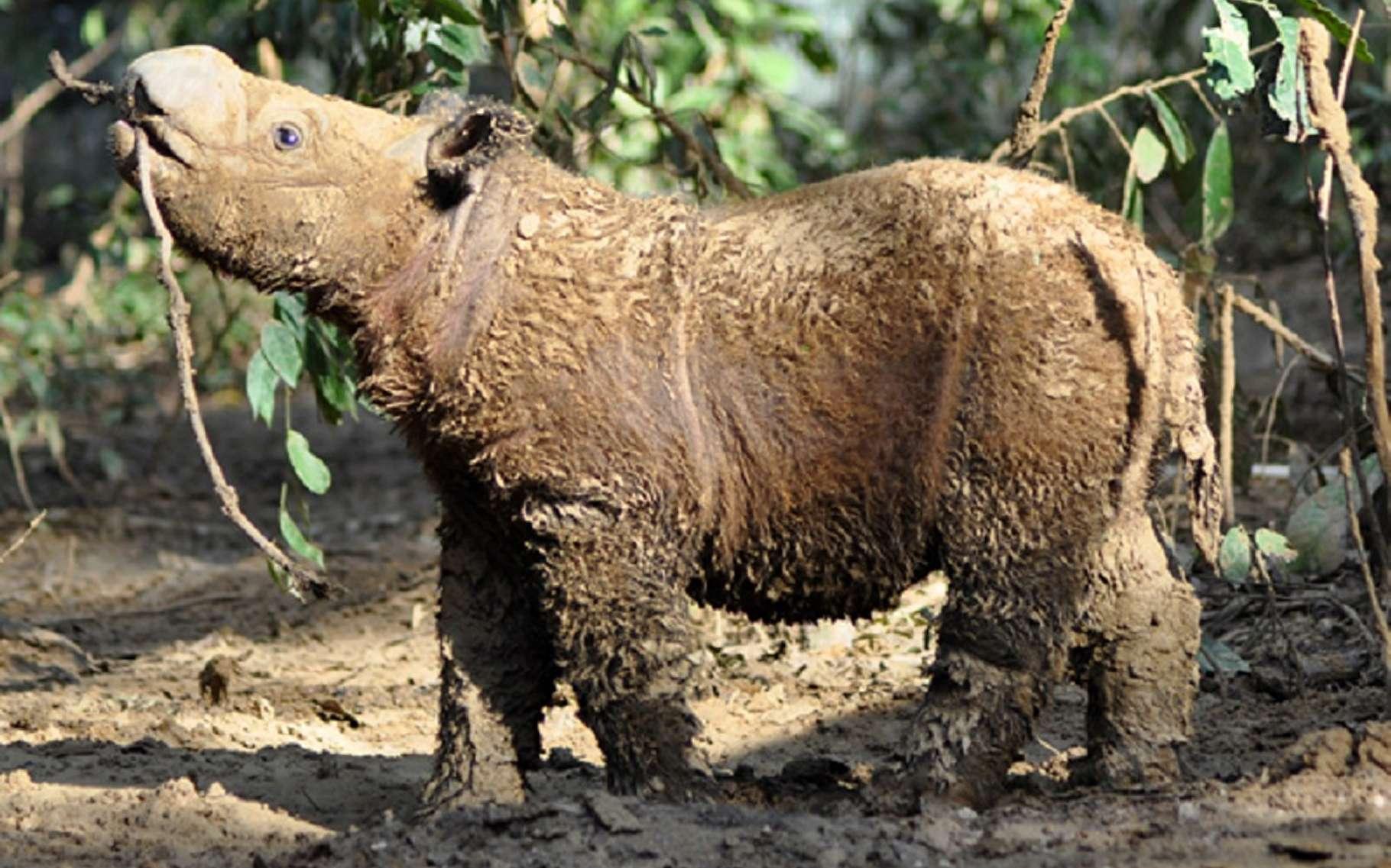 Andatu, jeune rhinocéros de Sumatra (Dicerorhinus sumatrensis) né en captivité dans la réserve de Lampung, à Sumatra. Il sort d'un bain de boue, une activité quotidienne et importante chez cette espèce qui vit en forêt tropicale. L'animal se débarrasse ainsi de ses parasites. © International Rhino Foundation