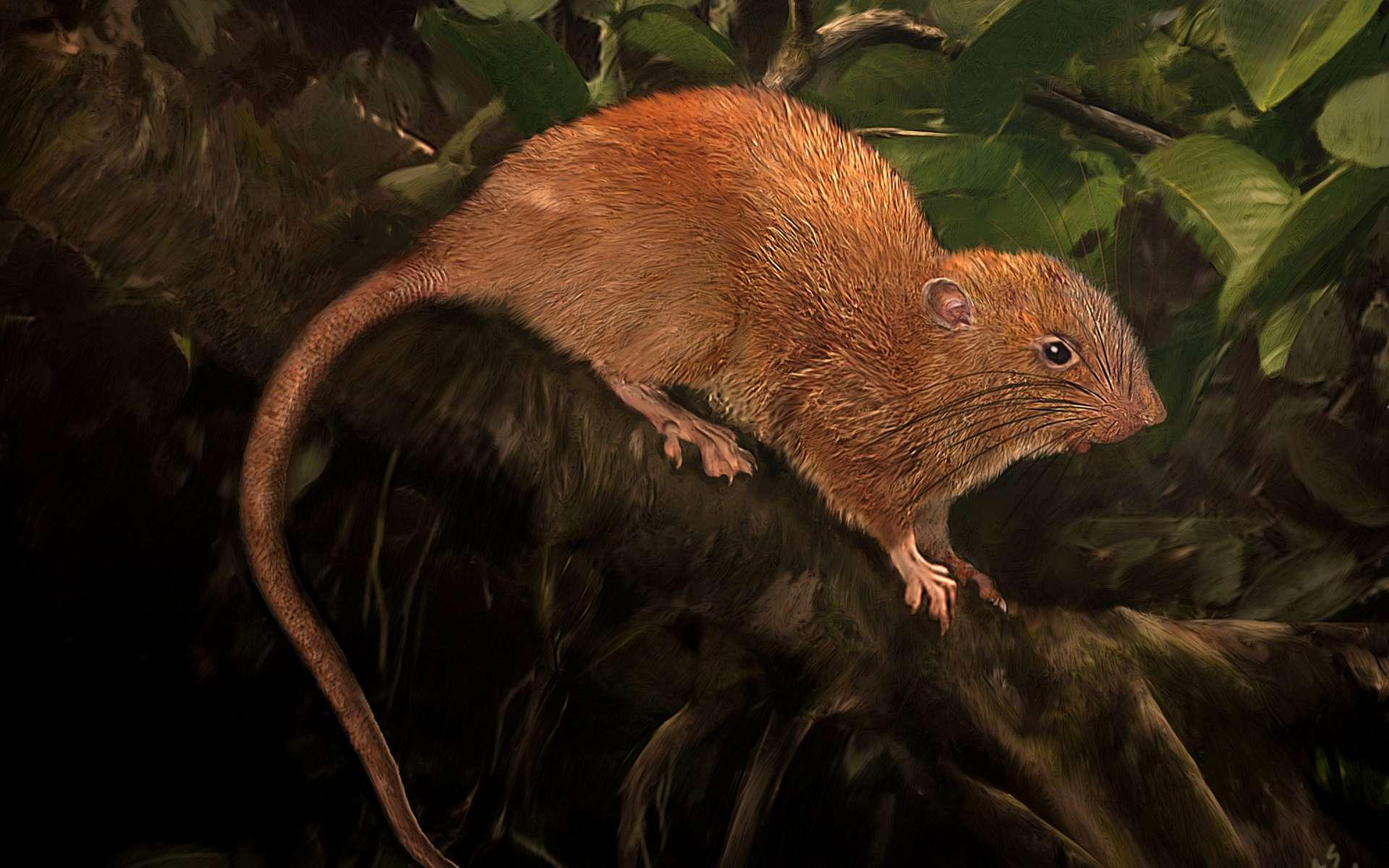Un rat géant a été découvert aux îles Salomon. Ici, illustration de Uromys vika. © Velizar Simeonovski, The Field Museum