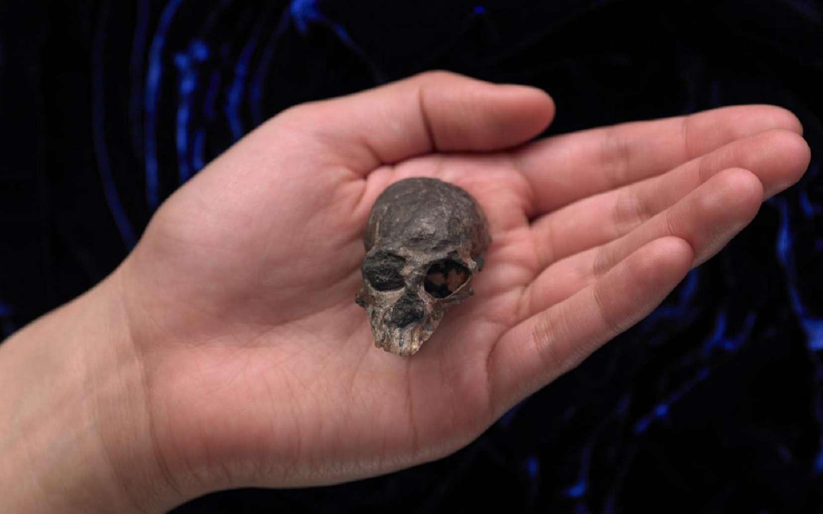 Ce minuscule crâne fossile trouvé dans les Andes au Chili date de 20 millions d'années et appartient à l'espèce Chilecebus carrascoensis.© AMNH/N. Wong and M. Ellison