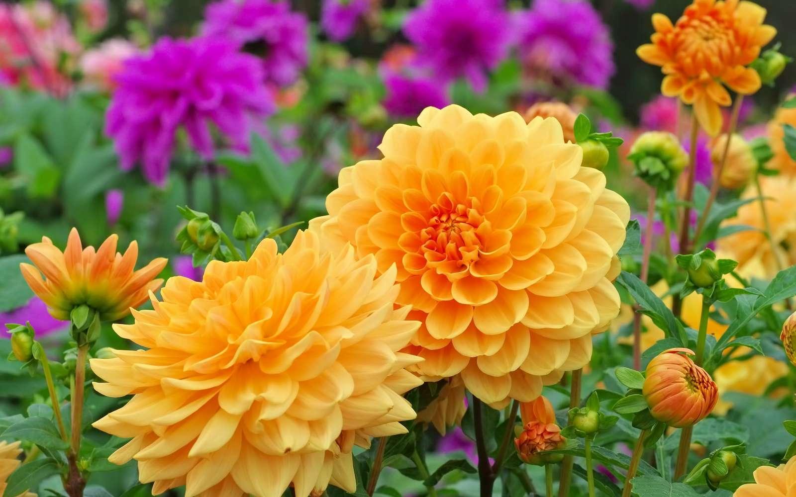 Magnifique floraison de dahlias. © LianeM, Adobe Stock