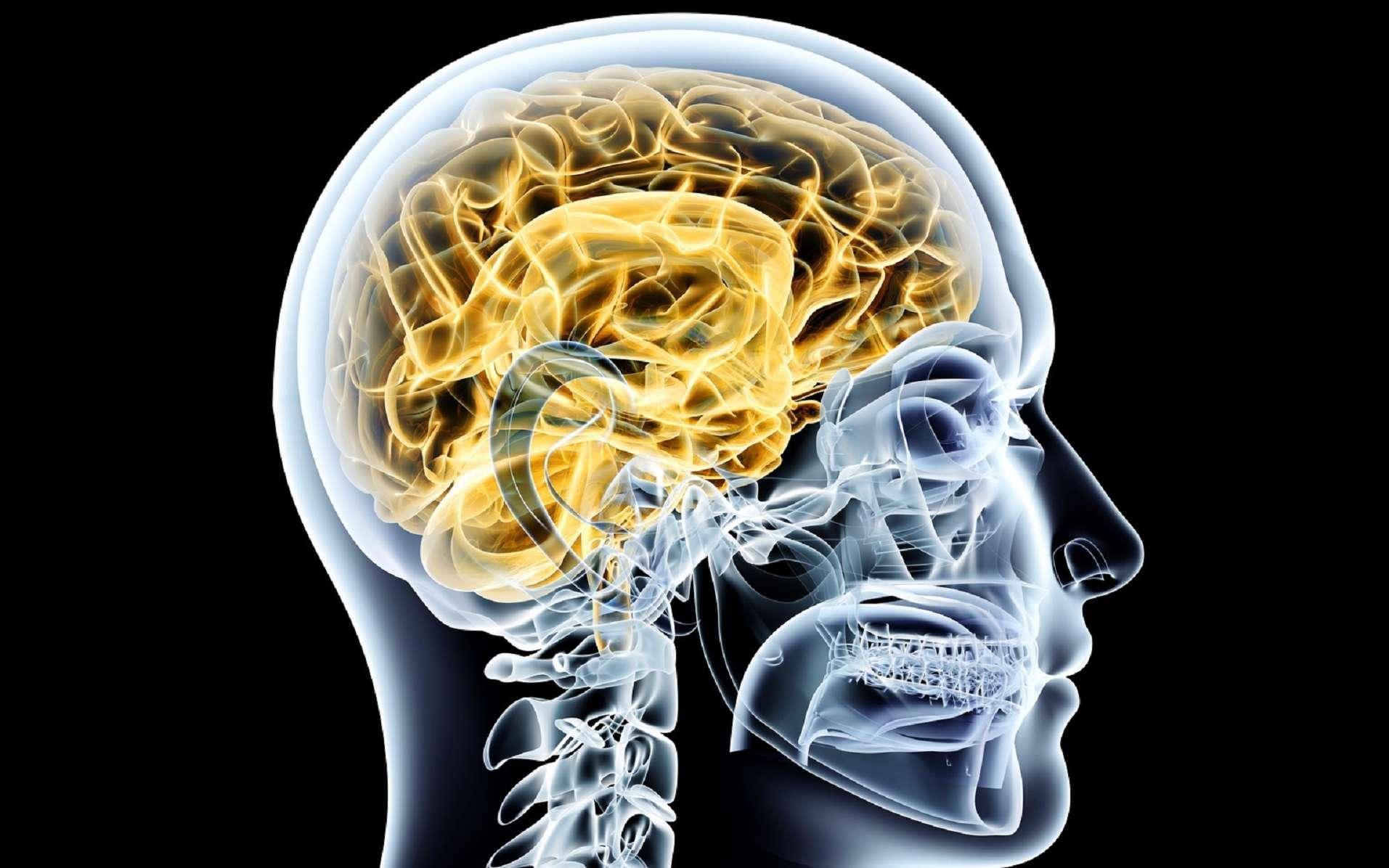 Le cortex décrit, entre autres, la couche superficielle du cerveau. © Spectral-Design, Fotolia