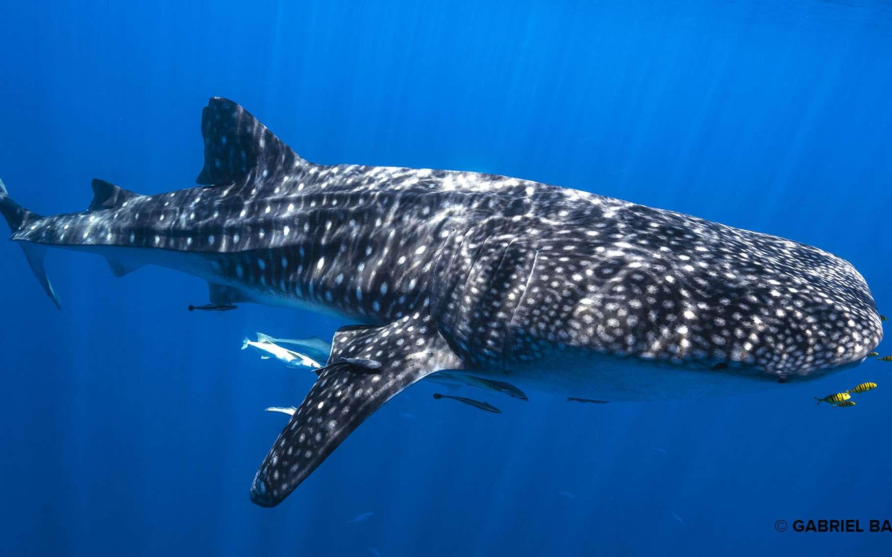 Un requin-baleine et ses carangues royales, plongeant dans le bleu profond ! Ce requin-baleine suit un banc de poissons qui le mène à sa nourriture : le plancton. © Gabriel Barathieu, tous droits réservés