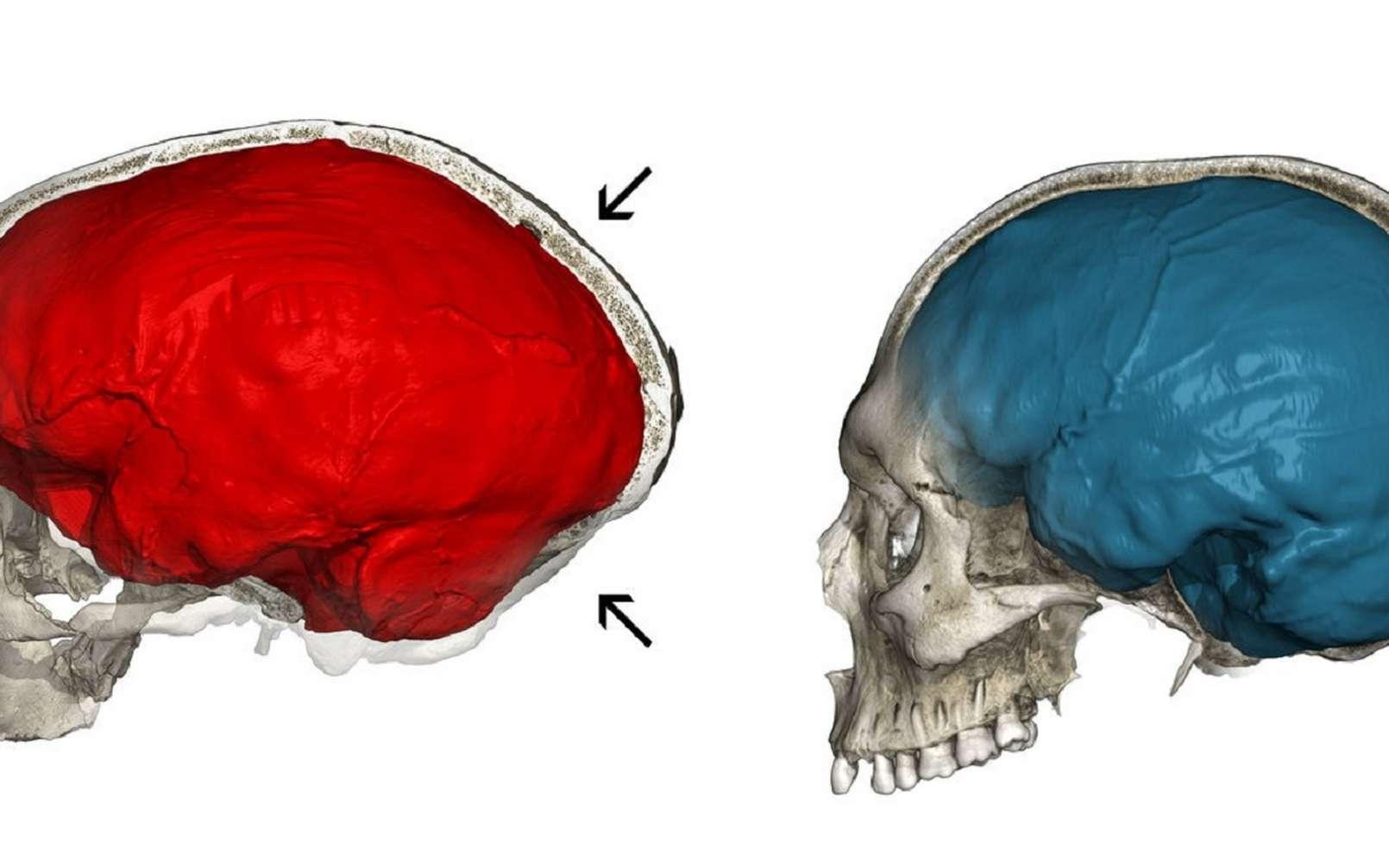 Crâne fossile de Néandertal de La Chapelle-aux-Saints (à gauche) avec une empreinte de l'endocrâne allongée (en rouge), et un crâne moderne (à droite) avec un endocrâne globulaire (en bleu). © Philipp Gunz, CC by-nc-nd 4.0