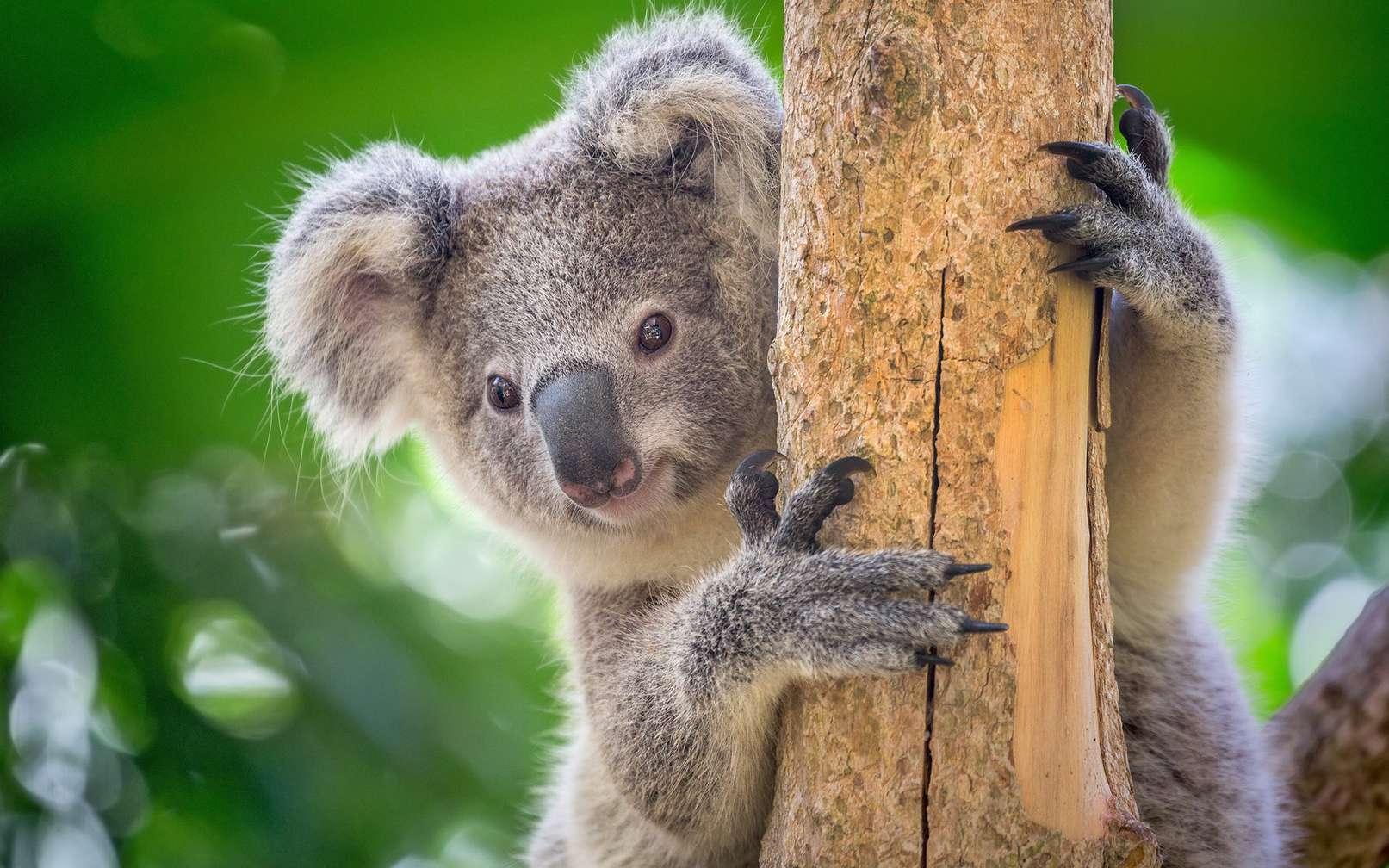 Le koala est plus à l'aise dans les arbres qu'au sol. © MrPreecha, fotolia