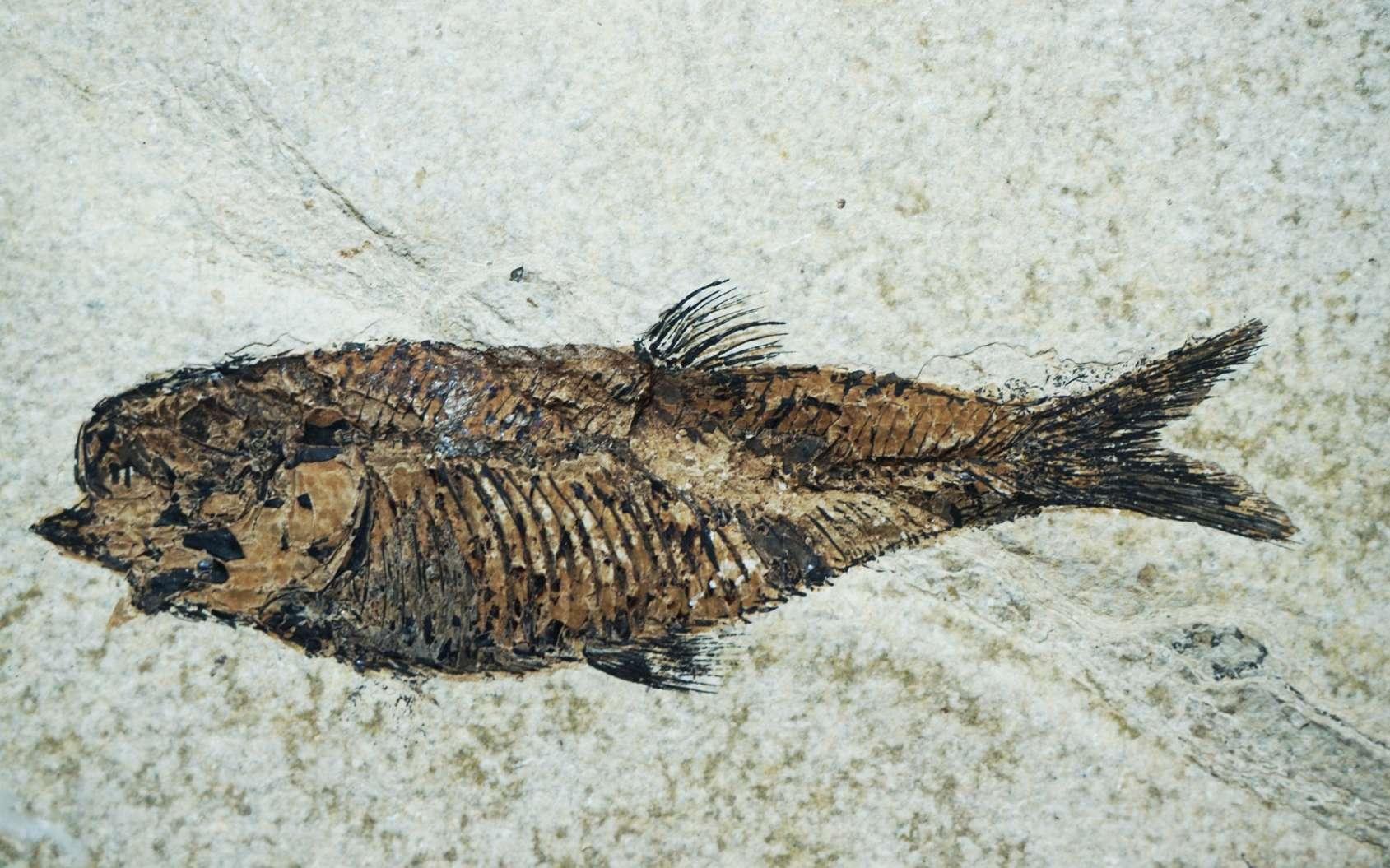 Les fossiles, souvent, correspondent au squelette de l'organisme moulé dans la roche. © jonnysek, fotolia