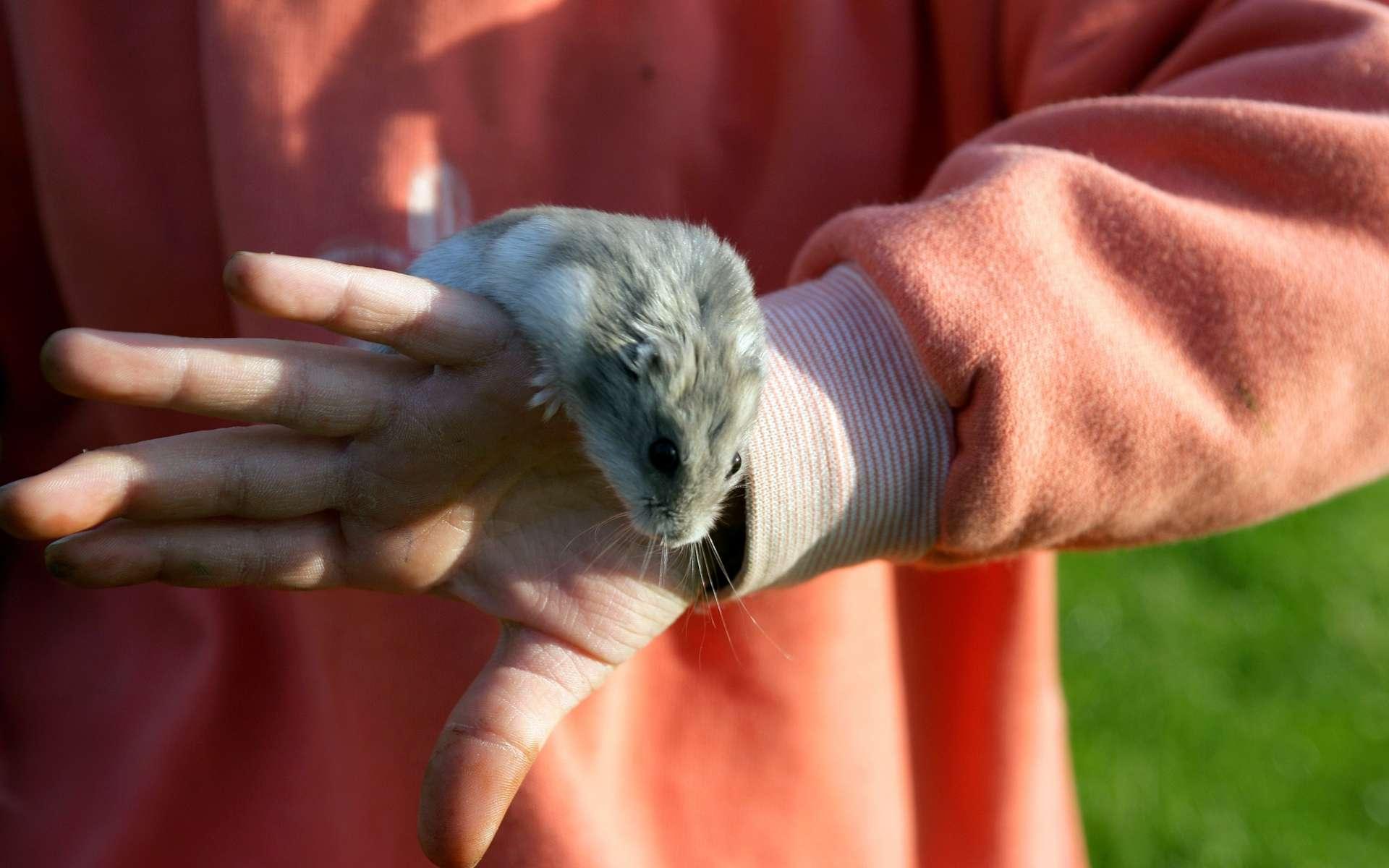 La gale animale peut être transmise à l'Homme par le cobaye ou encore le hamster. © Phovoir