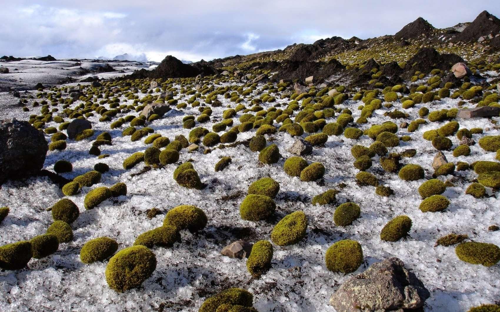 Des boules de mousse photographiées sur un glacier en Islande. © Ruth Mottram