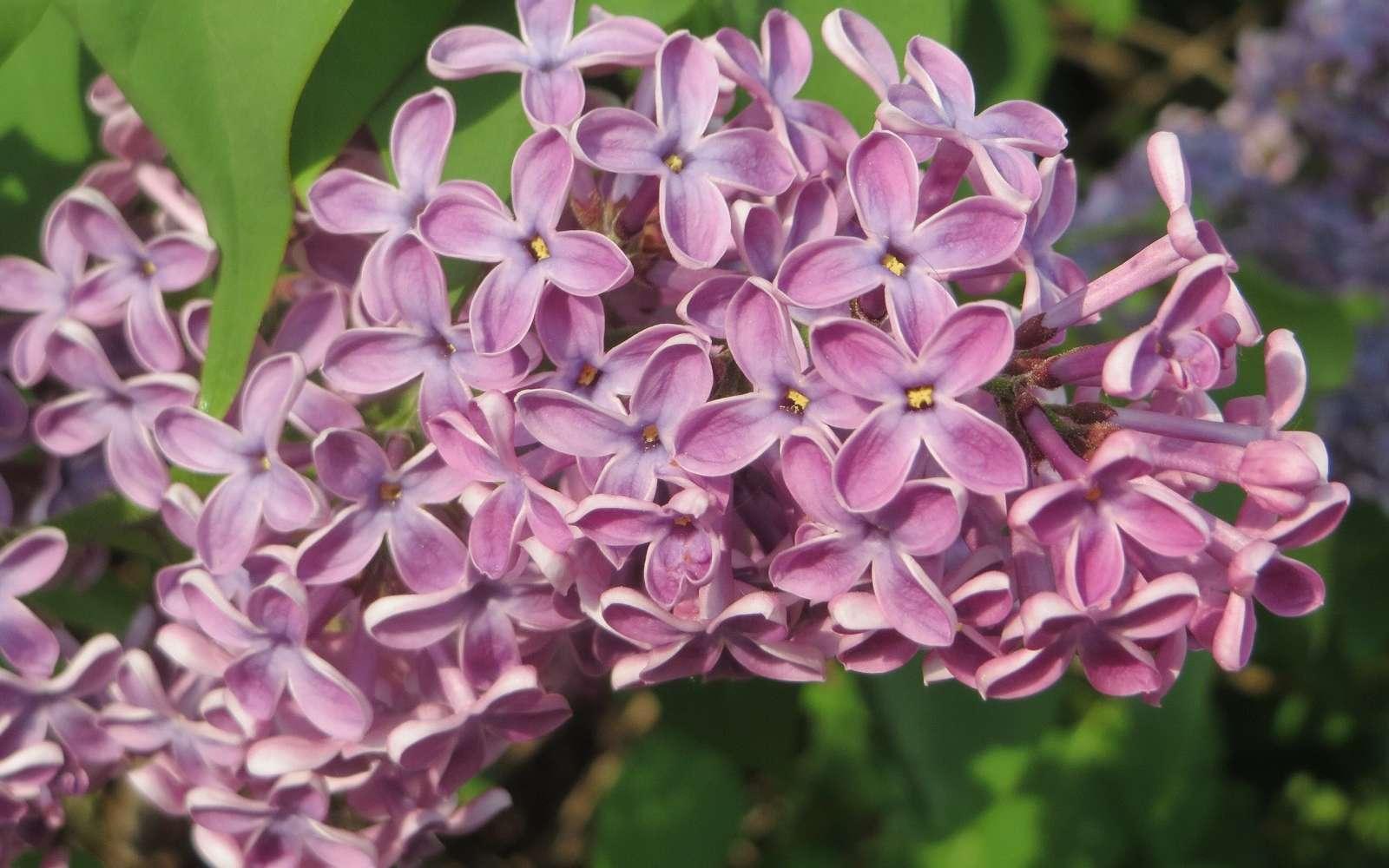 Le lilas des jardins est un arbrisseau ornemental de la famille des Oleaceae. Ses fleurs peuvent être simples ou doubles et plus ou moins parfumées. © AnRo0002, Domaine Public