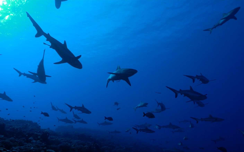 Mur de requins capturé dans l'archipel français par Steven Surina © Shark Education, Steven Surina