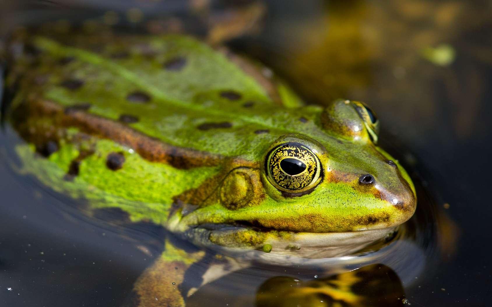 La grenouille n'est pas la femelle du crapaud. Crapauds et grenouilles sont bien des animaux différents. Ici, une grenouille verte (Rana esculenta). © Alexander von Düren, Fotolia