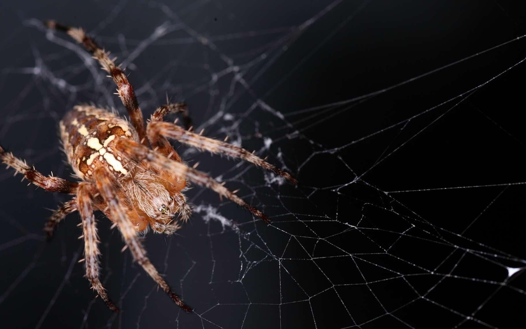 L'épeire diadème est une araignée commune de nos jardins. Sa soie pourrait bientôt servir à doper l'efficacité de nos vaccins. © galam, Fotolia