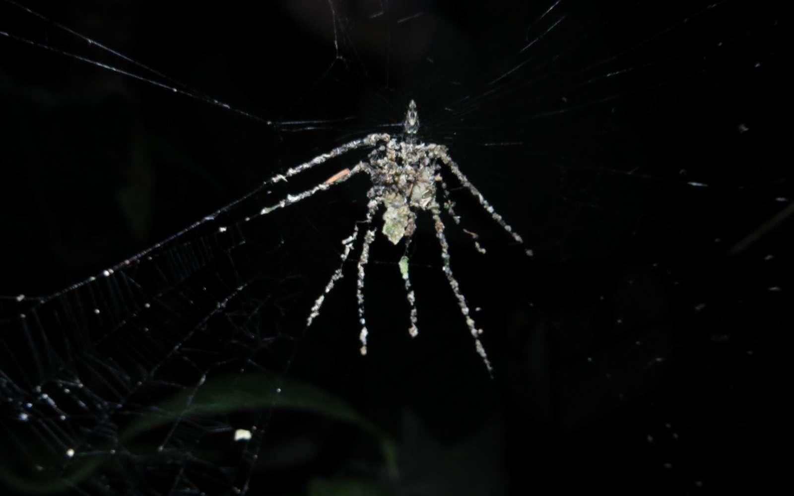 Regardez de plus près : cette araignée n'est faite que de débris végétaux et d'insectes morts ! Elle est 5 fois plus grande que la Cyclosa qui l'a construite. © Phil Torres