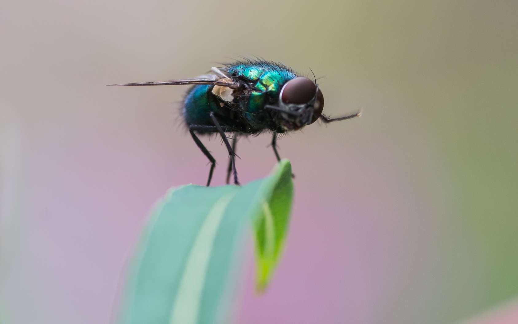 Les mouches se frottent les pattes pour nettoyer les poils sensoriels qui les recouvrent. © Matthew, fotolia