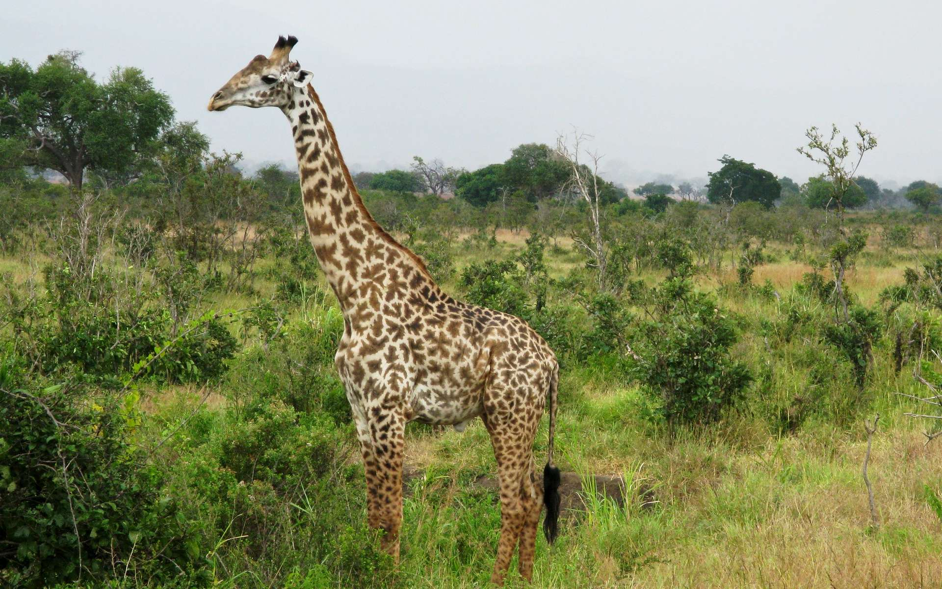 Des girafes atteintes de nanisme observées dans la nature. © David Davies, Flickr