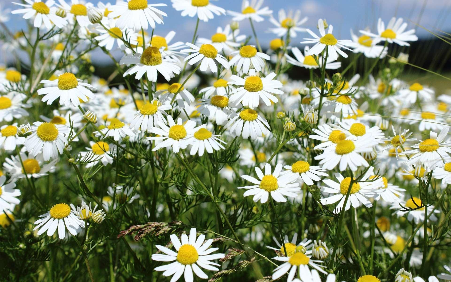 La camomille n'est pas un remède miracle contre l'herpès et les boutons de fièvre mais cette fleur possède tout de même des vertus anti-inflammatoires. © Nidan, Pixabay, DP