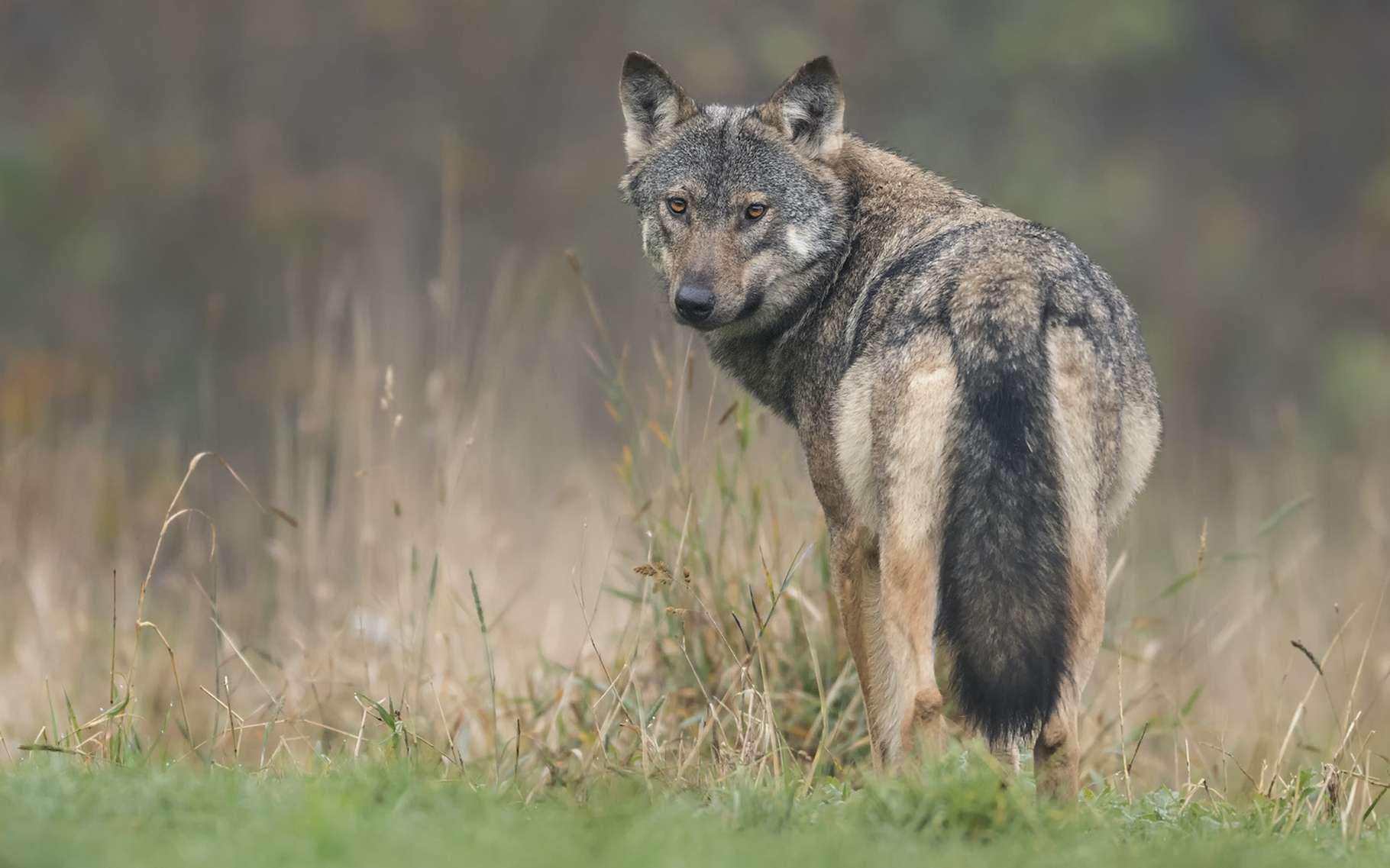 Les loups, en tant que prédateurs, font partie des espèces réintroduites à des fins de rewilding. © Piotr Krzeslak, Adobe Stock