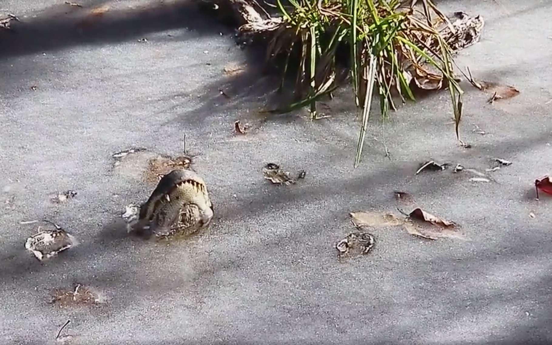En Caroline du Nord, des alligators se sont laissés prendre au piège de l'eau glacée dans une bien étrange position. Leur stratégie pour survire à la vague de froid : la brumation. © Shallotte River Swamp Park, Facebook
