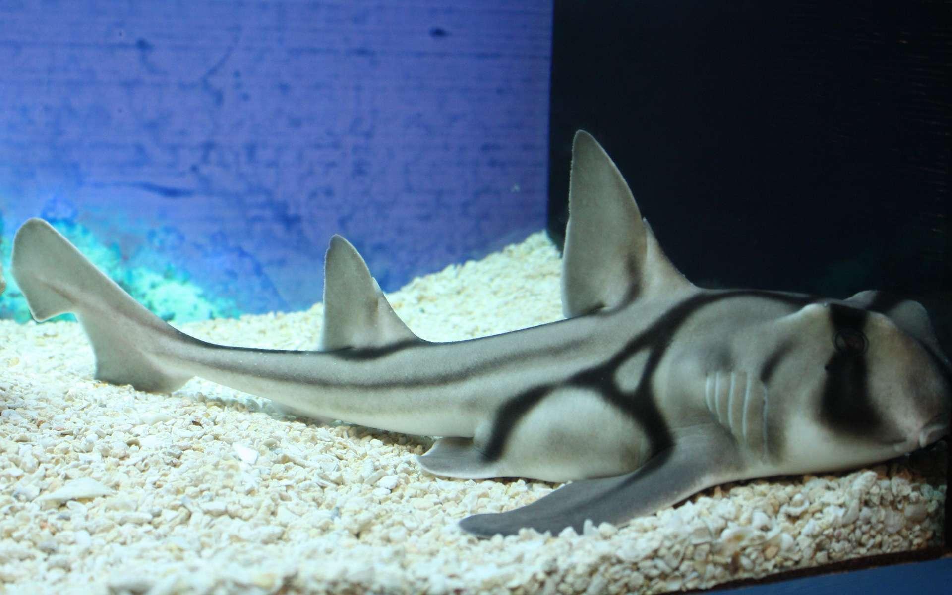 Du nom du port naturel de Sydney, le requin dormeur de Port-Jackson est une espèce endémique des eaux côtières du sud de l'Australie. Mesurant 1,30 mètre en moyenne, il se nourrit la nuit, principalement d'invertébrés (oursins, crabes, coquillages) dont il broie la coquille grâce à des dents aplaties comme des molaires. © J. Patrick Fischer, Wikimedia Commons, CC by-sa 3.0