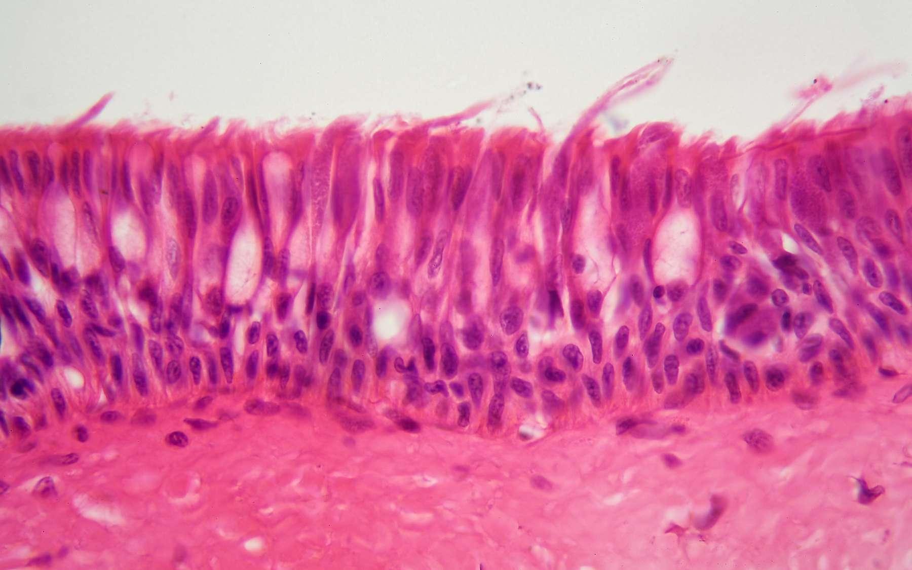 Les laminines sont des protéines constituantes de la lame basale. © ChrWeiss, Adobe Stock