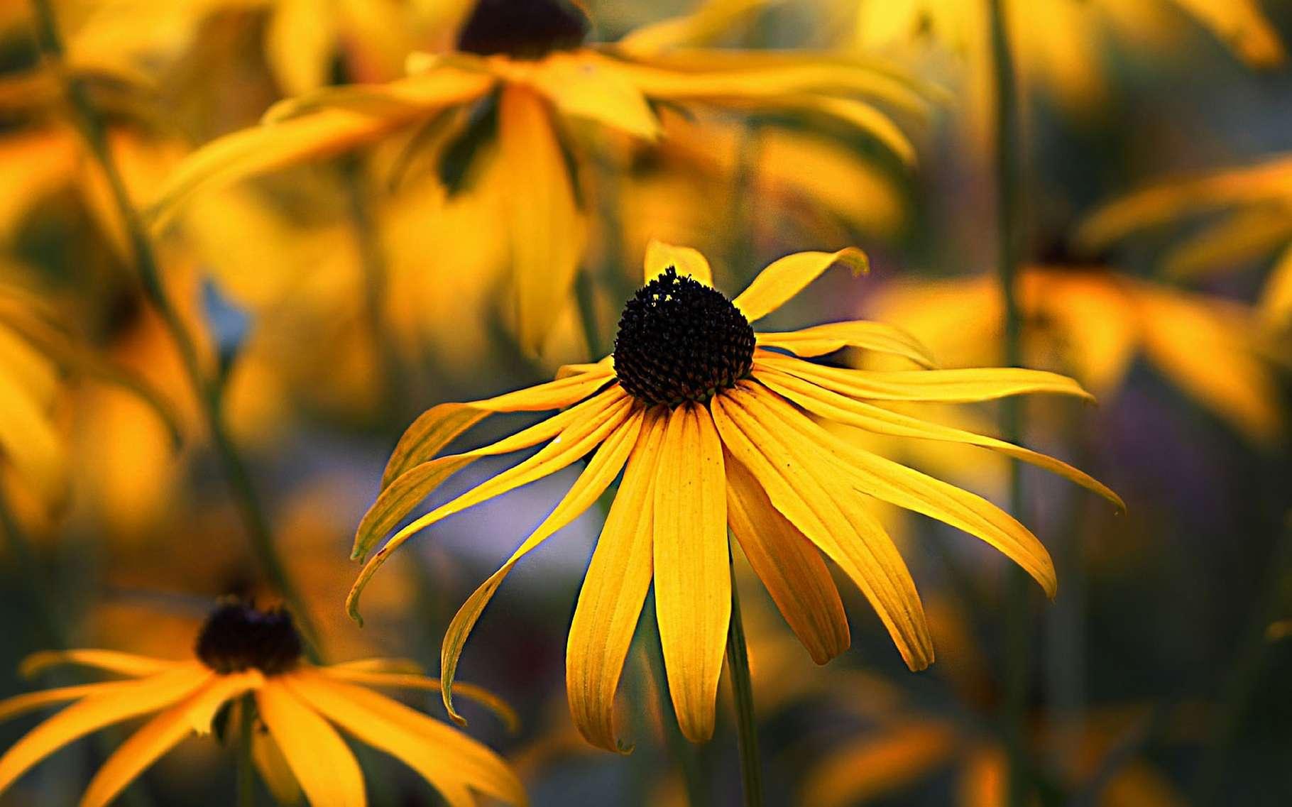 Le rudbeckia doré. © Pixabay, Domaine Public