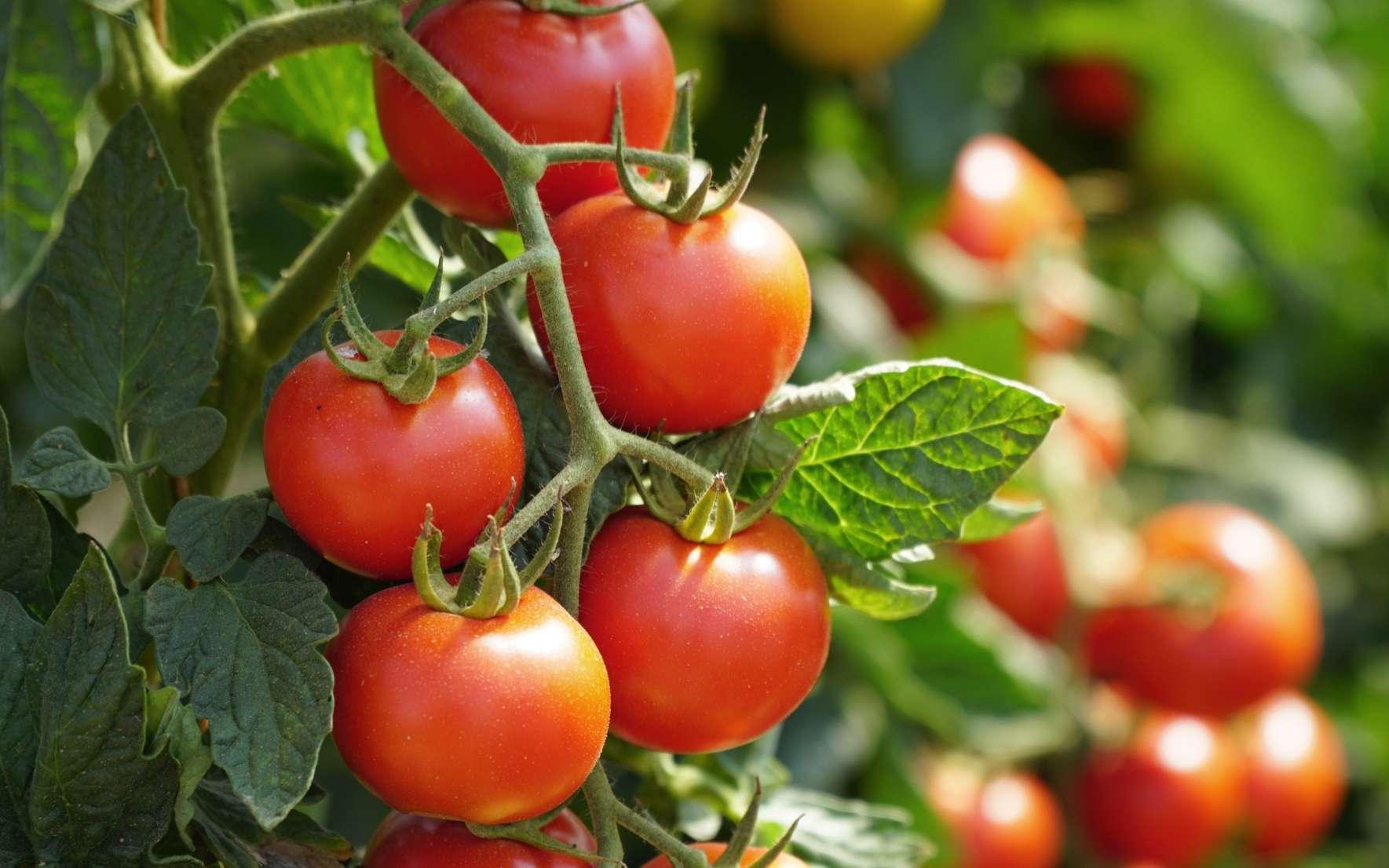 Pour lutter contre la mouche blanche de la tomate, il faut faire appel aux insectes prédateurs, ces précieux auxiliaires de jardin. © Daniel Ernst, Adobe Stock