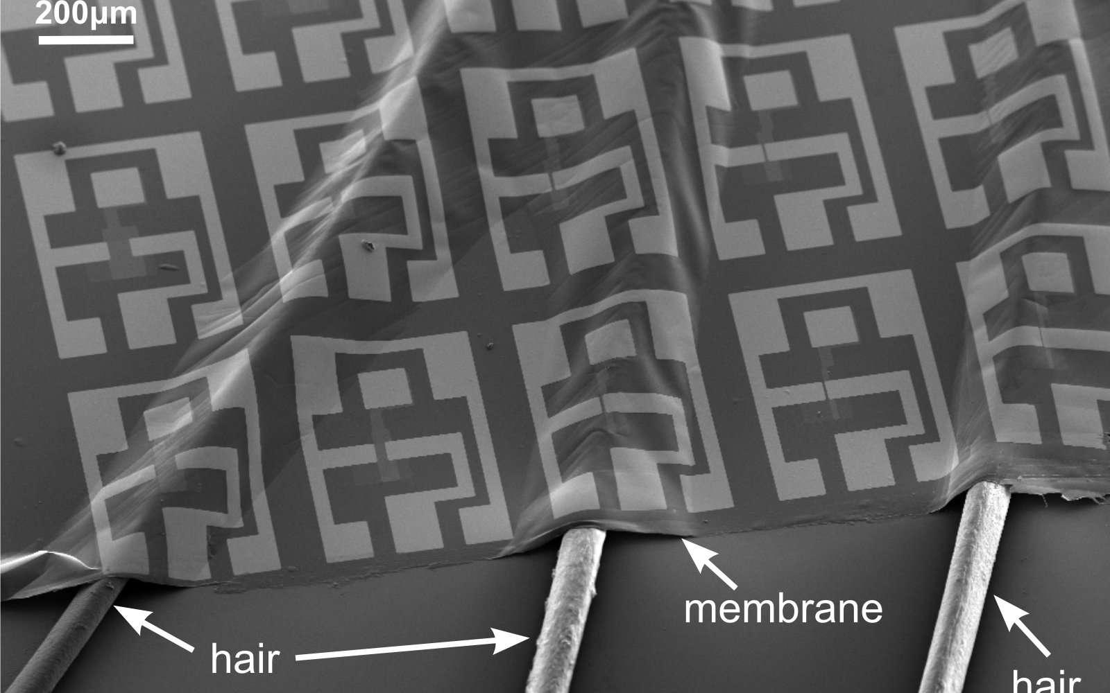 Cette image (l'échelle est de 200 µm) montre le circuit électrique ultraflexible (membrane) déposé sur des cheveux (hair). Les chercheurs de l'École polytechnique fédérale de Zurich ont également réussi à le déposer sur des bulles d'air dont il épouse la forme à la surface de l'eau. © Salvatore et al., EPFZ