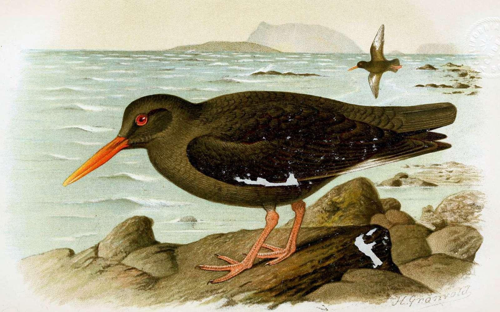 L'huîtrier des Canaries, disparu en 1994. © Henrik Gronvold, Wikipédia